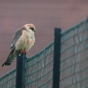 Faucon kobez (femelle)