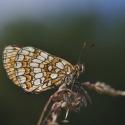 Damier de la succise (Euphydryas aurinia)