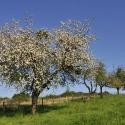 Pommier (Arbigny)