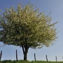 Cerisier (Arbigny)